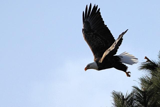 bald-eagle-882750_640