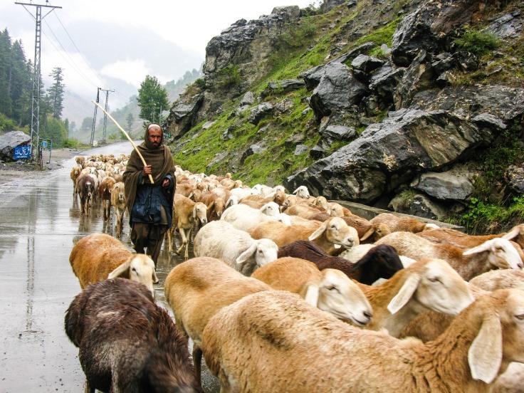 shpherd flock-999558_1920