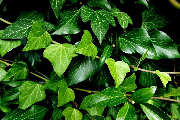 ivy-3519432_1920